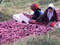 Яблоки крепсон,  отборные