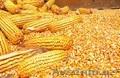 Кукуруза в Ташкенте,  Узбекистан
