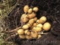 Семенной картофель из Поволжья